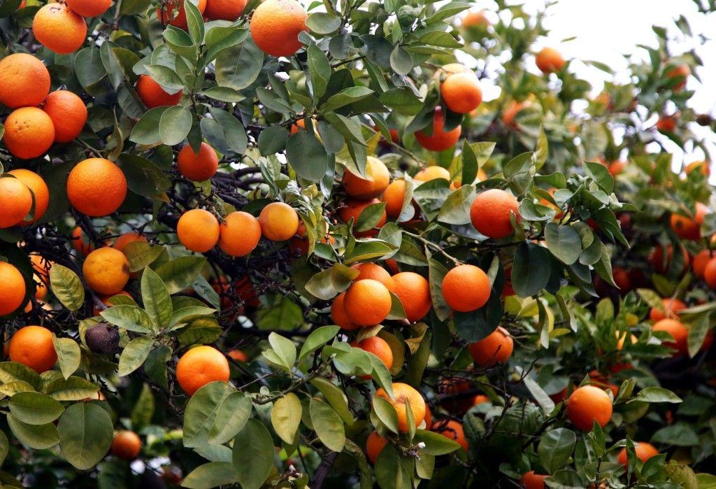 Atinske pomorandže